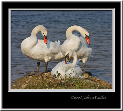 Swans of Fernald Preserve