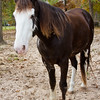 "Sonny, or ""Ness's Midnight Son"", one of the Tennesee Walking Horses from Walking Horse Farm, owned by Marilyn and Richard Kinney, in Cut N Shoot, Texas. Website info on the horses can be found at  <a href=""http://www.walkingk.com"">http://www.walkingk.com</a>."