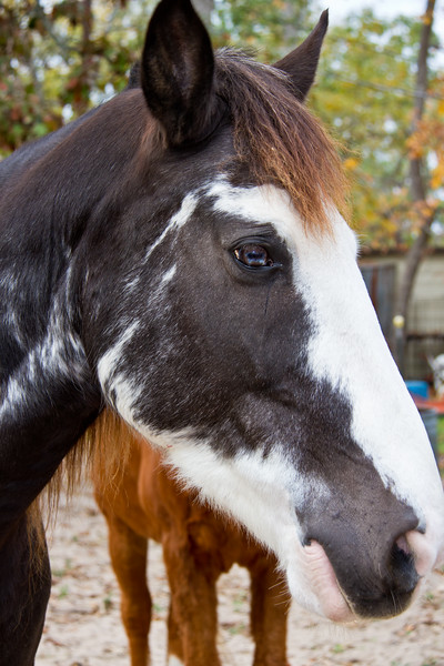 """Tennesee Walking Horses from Walking Horse Farm, owned by Marilyn and Richard Kinney, in Cut N Shoot, Texas. Website info on the horses can be found at  <a href=""""http://www.walkingk.com"""">http://www.walkingk.com</a>. Sonny, """"Ness's Midnight Son"""", is curious about the photographer and the camera, getting an upclose look."""