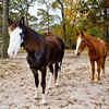 "Tennesee Walking Horses from Walking Horse Farm, owned by Marilyn and Richard Kinney, in Cut N Shoot, Texas. Website info on the horses can be found at  <a href=""http://www.walkingk.com"">http://www.walkingk.com</a>."