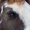 """Sonny, or """"Ness's Midnight Son"""", one of the Tennesee Walking Horses from Walking Horse Farm, owned by Marilyn and Richard Kinney, in Cut N Shoot, Texas. Website info on the horses can be found at  <a href=""""http://www.walkingk.com"""">http://www.walkingk.com</a>."""