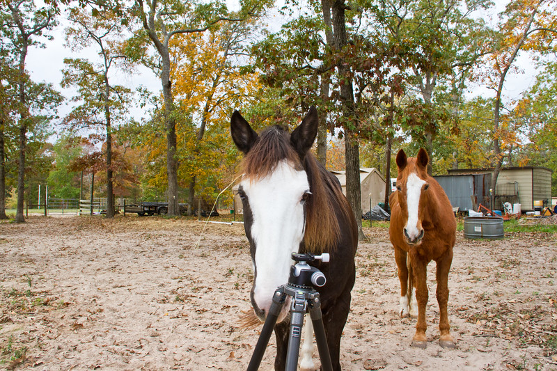 """Tennesee Walking Horses from Walking Horse Farm, owned by Marilyn and Richard Kinney, in Cut N Shoot, Texas. Website info on the horses can be found at  <a href=""""http://www.walkingk.com"""">http://www.walkingk.com</a>. Sonny, """"Ness's Midnight Son"""", is curious about the photographer's tripod."""