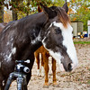 "Tennesee Walking Horses from Walking Horse Farm, owned by Marilyn and Richard Kinney, in Cut N Shoot, Texas. Website info on the horses can be found at  <a href=""http://www.walkingk.com"">http://www.walkingk.com</a>. Sonny, ""Ness's Midnight Son"", is curious about the photographer's tripod."