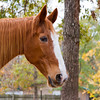 "Odie, or ""My Copper Delight K"", one of the Tennesee Walking Horses from Walking Horse Farm, owned by Marilyn and Richard Kinney, in Cut N Shoot, Texas. Website info on the horses can be found at  <a href=""http://www.walkingk.com"">http://www.walkingk.com</a>."