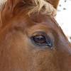 "Pocket, one of the Tennesee Walking Horses from Walking Horse Farm, owned by Marilyn and Richard Kinney, in Cut N Shoot, Texas. Website info on the horses can be found at  <a href=""http://www.walkingk.com"">http://www.walkingk.com</a>."