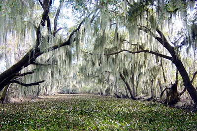 On a shallow Mississippi river amongst the ethereal cypress trees draped with Spanish Moss.  This photograph is protected by the U.S. Copyright Laws and shall not to be downloaded or reproduced by any means without the formal written permission of L Good - noelxgood@sbcglobal.net.