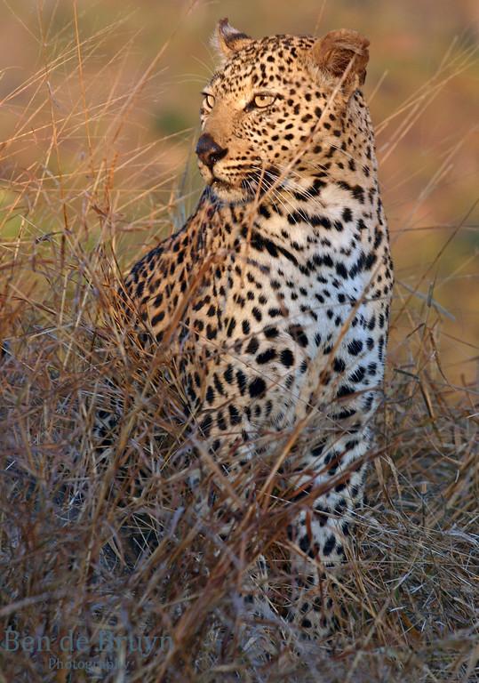 June 2006 Dulini Leopard 4