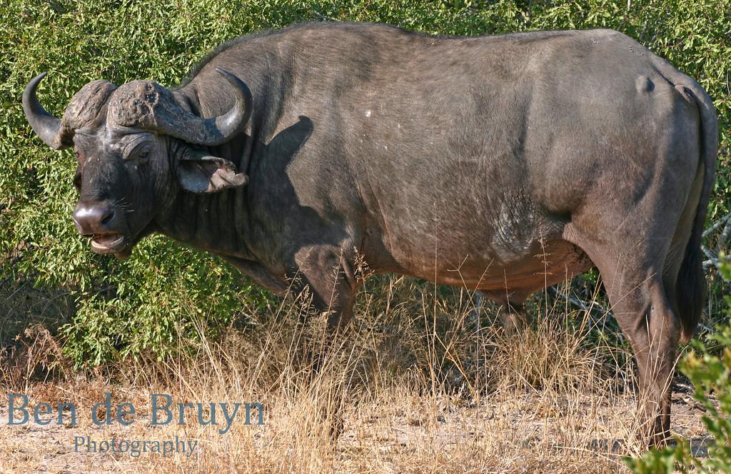June 2006 Dulini buffalo