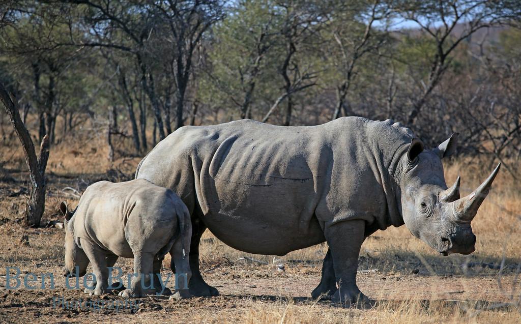 Aug 2012 93 Zebula game drive rhino 5