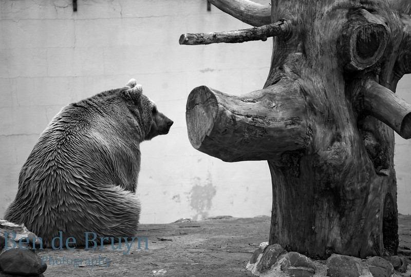 April 2013 Brown Bear at Servion Zoo 2