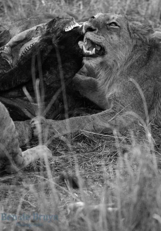 June 2006 Dulini lion eating buffalo 1