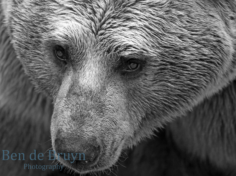 April 2013 Brown Bear at Servion Zoo 8