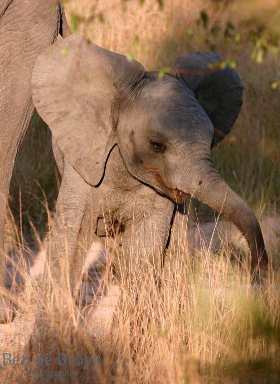 June 2006 Dulini baby elephant