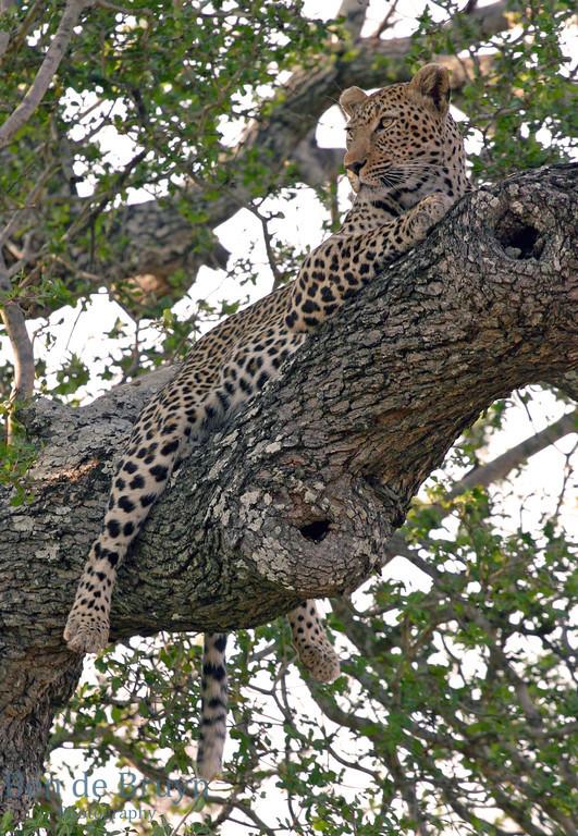 Kirkmans Camp 2007 Leapard in tree 3