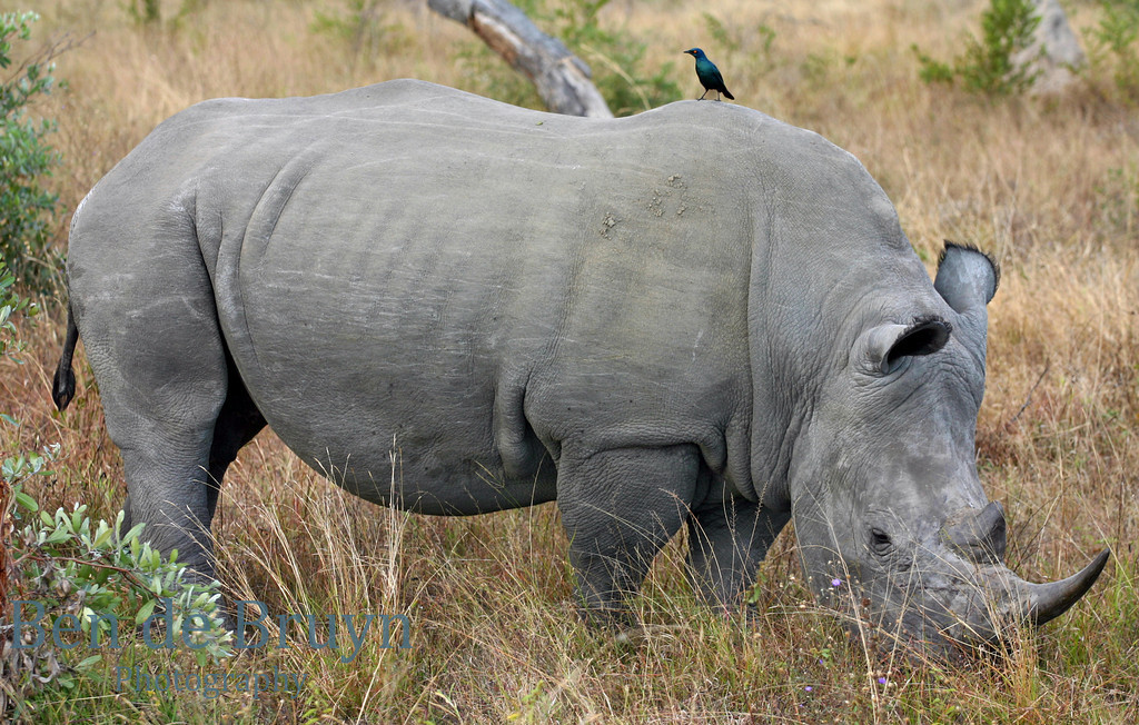 June 2006 Dulini rhino 1