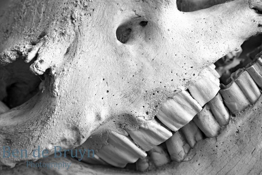 2012 Aug Krugerpark animal skull