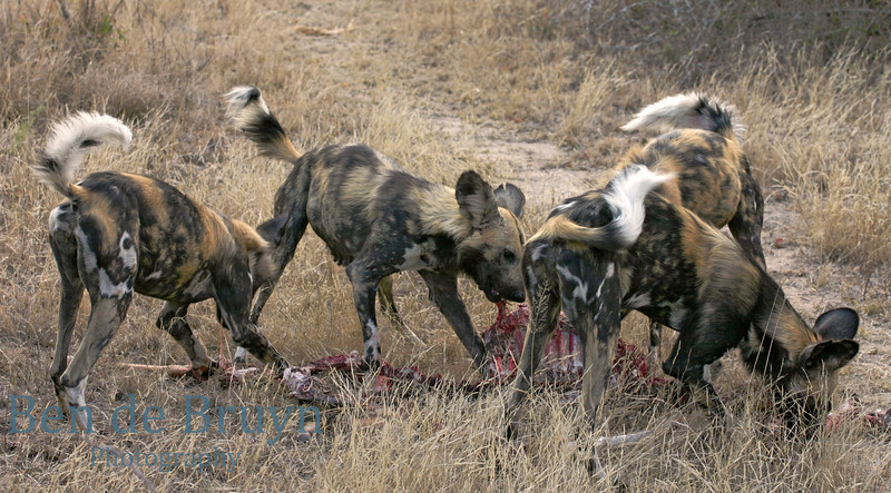 Kirkmans Camp 2007 wild dogs 2