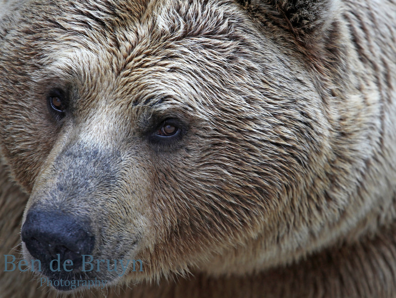 April 2013 Brown Bear at Servion Zoo 1
