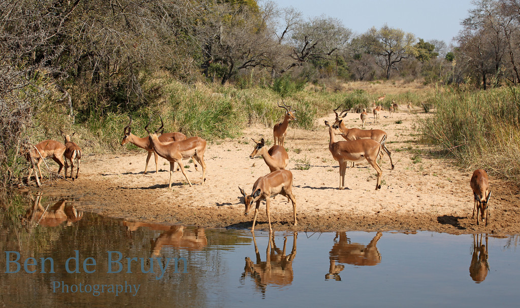 Aug 2012 Krugerpark Impala's 2