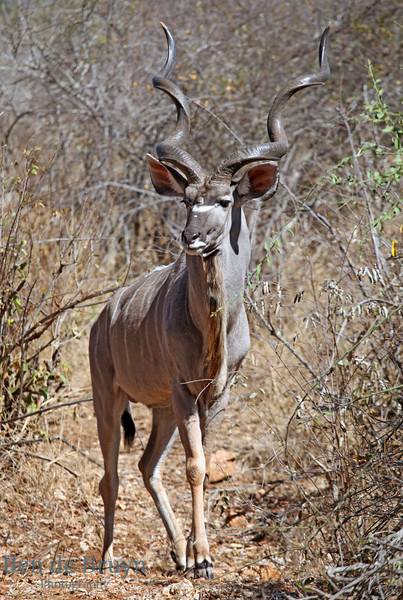 Aug 2012 Kruger Park Kudu A