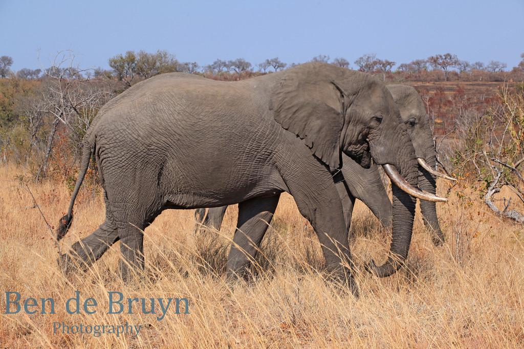 Aug 2012 Krugerpark elephant walking 3