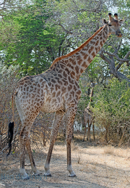 July 2012 Kruger park Giraffe watching
