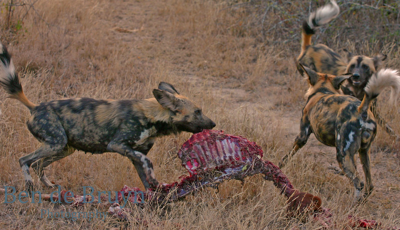 Kirkmans Camp2007 wild dogs 3