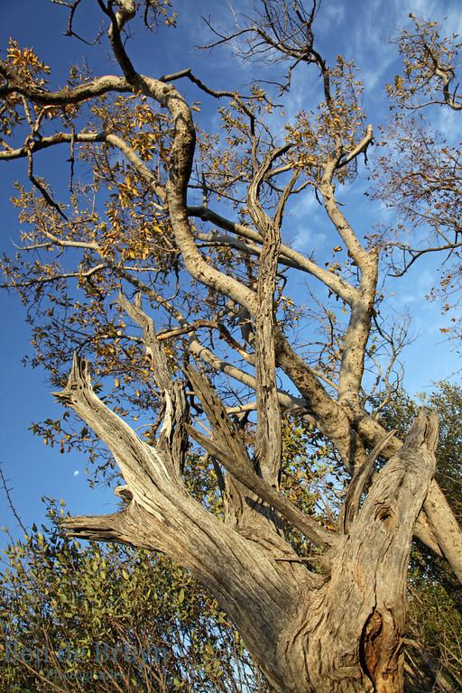 Aug 2012 73 Zebula tree