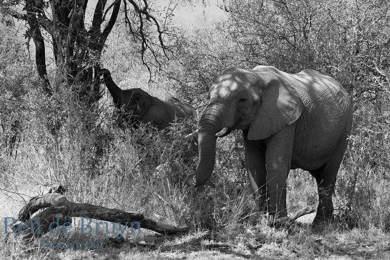 Aug 2012 Krugerpark Elephants in bush 1