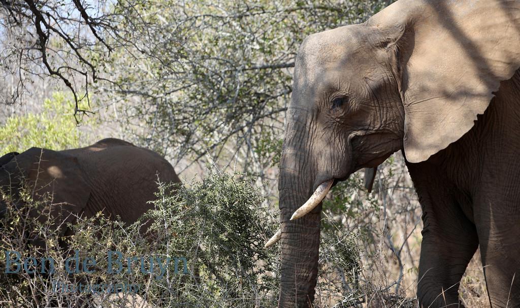 Aug 2012 Krugerpark Elephants in bush 2
