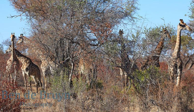 Aug 2012 Kruger Park Giraffes B