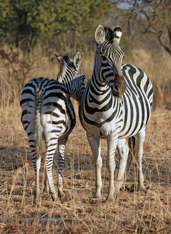 Aug 2012 79 Zebula zebra 3