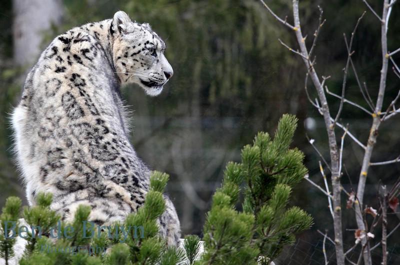 April 2013 Siberian Snow Leapard at Servion Zoo 4