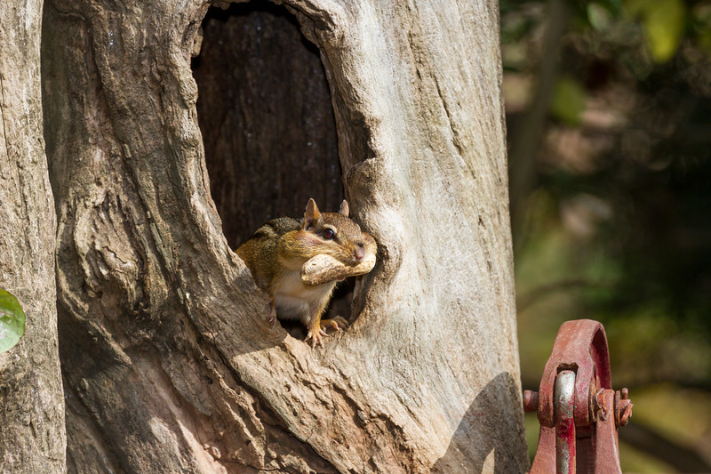 Eastern Chipmunk, Tamias striatus, in North Carolina, gathering nuts in autumn.