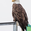 Bald Eagle, Haliaeetus leucocephalus, perching on structures in boat harbor at Juneau, Alaska.