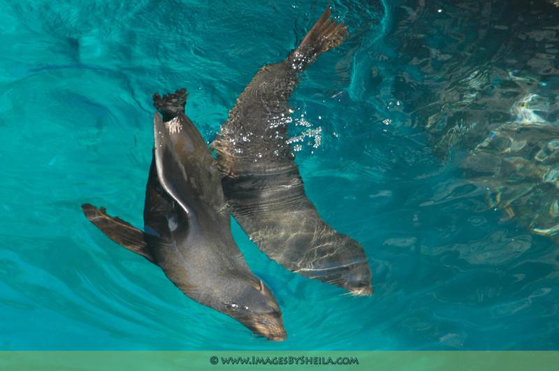Fur seals at play (Galapagos Islands, Ecuador)