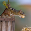 Eastern Chipmunk, Tamias striatus, in North Carolina, gathering nuts in autumn.