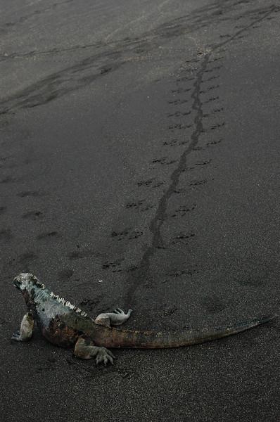 Footprints of sea iguana (Galapagos Islands, Ecuador)