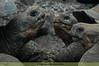 Galapagos turtles (Galapagos Island, Ecuador)