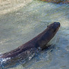 Giant RIver Otter at Moody Gardens in Galveston.