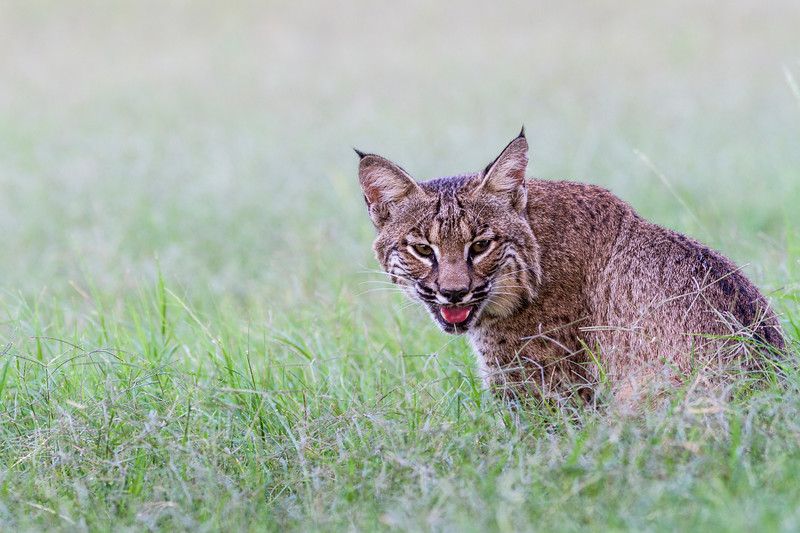 Domesticated Bobcat, Lynx rufus, raised as pet from birth.