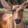 Barasingha at Natural Bridge Wildlife Ranch.