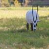 Arabian Oryx at Natural Bridge Wildlife Ranch.