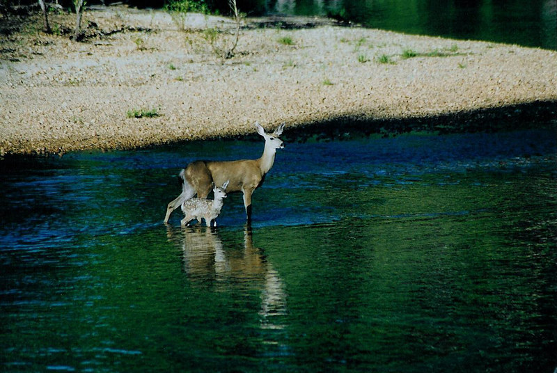 Deer and Fawn, Yosemite Valley