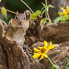 Eastern Chipmunk, Tamias striatus, getting ready for winter, in North Carolina.
