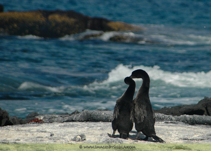 Flightless Cormorrants mating ritual (Galapagos Island, Ecuador)