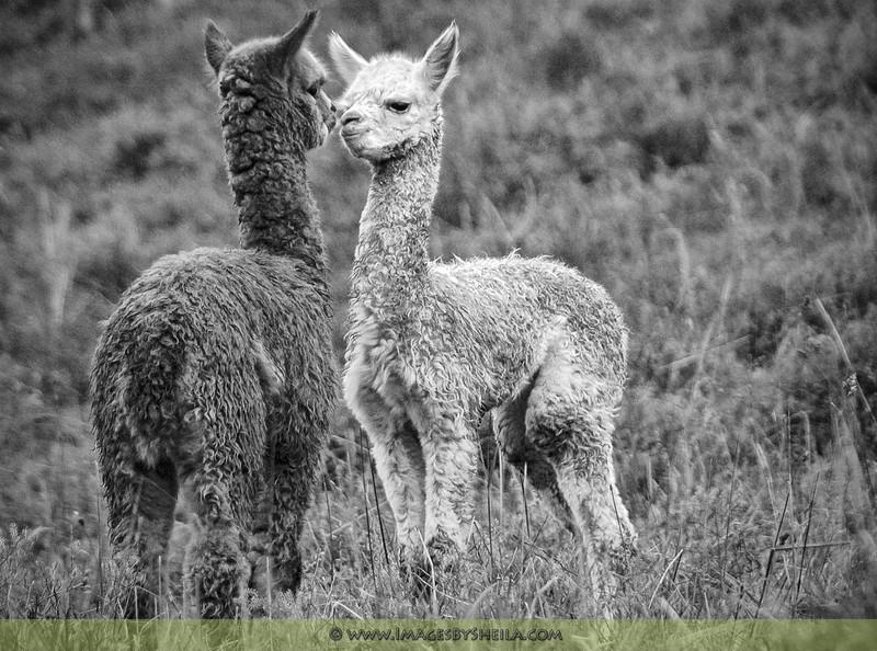 Title:  'Puppy Love' (Kissing Alpacas, Ecuador)