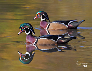 Wood Ducks of North Chagrin