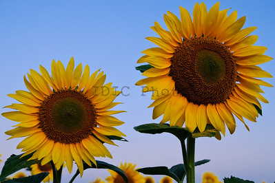 Sunflowers at McKee-Beshers WMA Maryland -5