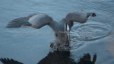 Blue Heron - Vancouver Island, B.C